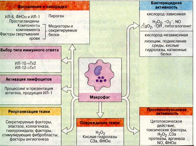 Клетка Антиген-Представляющая фото